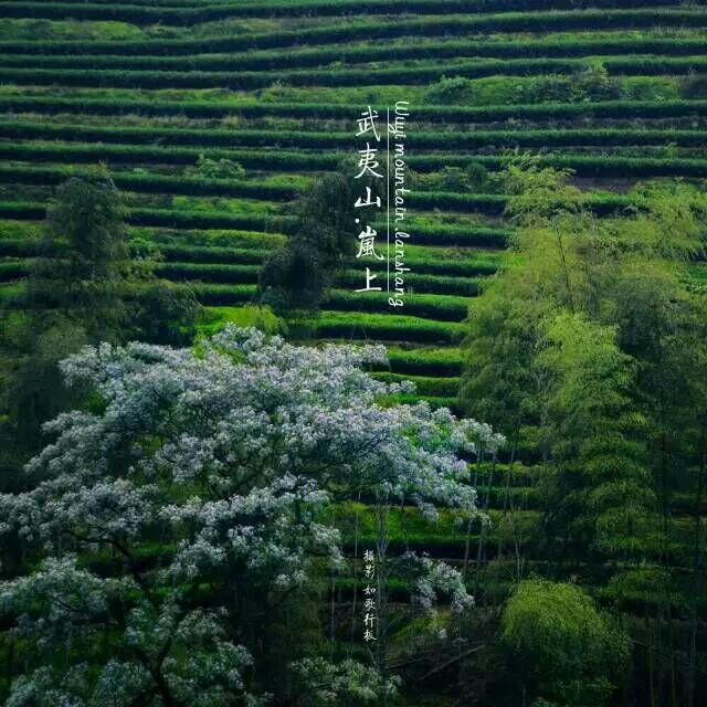 Hillside green with tea and bamboo